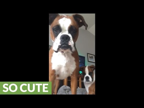 Boxer protects puppy from scary iPad