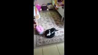 Salem the cat discovers the Roomba