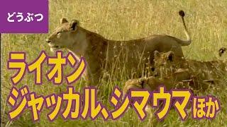 大自然の動物親子(2)ライオン/ゾウ/バブーン/ジャッカル/シマウマ...