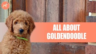 Goldendoodle Dog Breed: A Complete Dog Breed Guide
