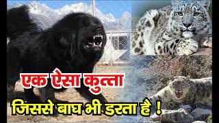 Bhotiya Dog | Gaddi Dog |  Himalayan mastiff | Himalayan sheep dog |
