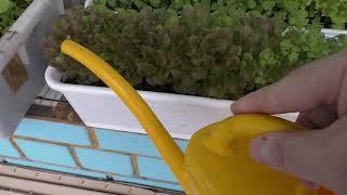 Как я поливаю салаты и другую зелень на лоджии зимой
