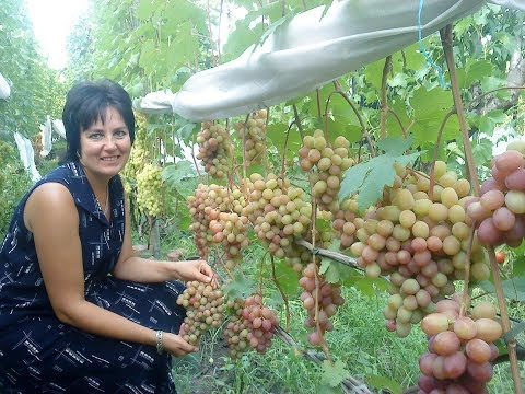 Осенний черный - виноград