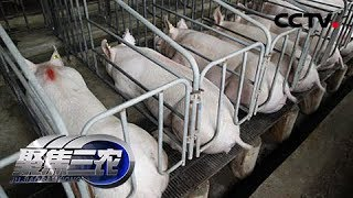 《聚焦三农》 20190427 缺猪的时候咋养猪| CCTV农业