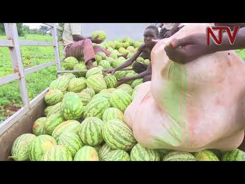 On the farm: The traders cashing in on watermelons