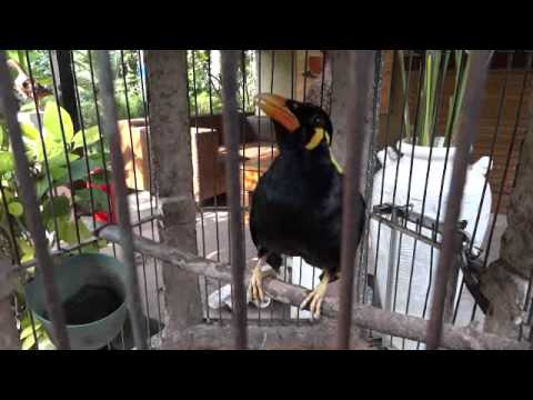 Talking Bird, Bali