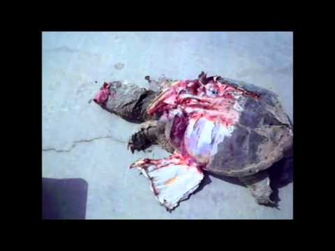Roadside Euthanisia of Snapping Turtle - Wichita Falls Reptile Rescue