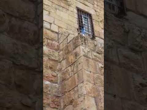 חתול נתקע על קיר הכותל המערבי. צילום: פנחס לנדאוי