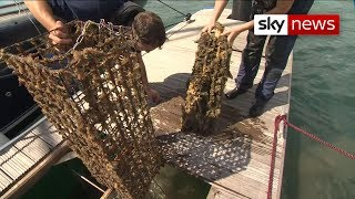 Oysters finally reproducing after decades of being overfished