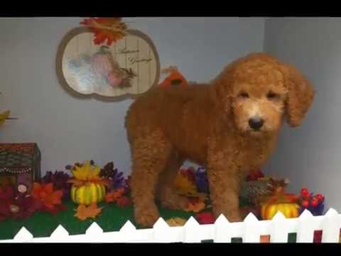 Male 2nd Generation Goldendoodle Puppy