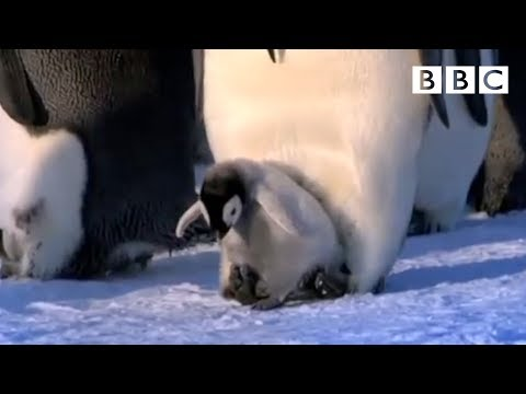 Emperor chicks standing tall - Penguins: Spy in the Huddle - Episode 2 Preview - BBC One