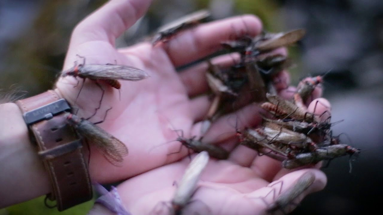 Salmon Fly Hatch on the Upper Rogue River | Ashland Fly Shop