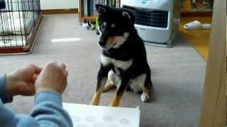 柴犬のdondonちゃんがピアノを弾きまーす。