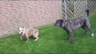 Cao de Castro laboreiro und Pitbull/Bullmastiff beim spielen