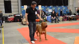 Exposition Internationale Fribourg Halessandro De La Tour Gelée Dogue De Bordeaux 230214