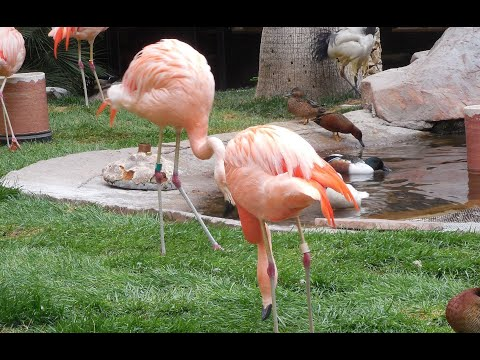 Touring The Flamingo Wildlife Habitat, Las Vegas, NV. Free attractions in Las Vegas.