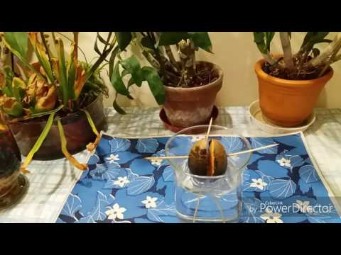 Как правильно выращивать авокадо