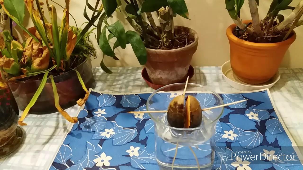 Как вырастить авокадо из косточки.