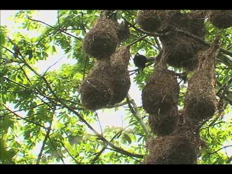 Oropendolas-Master Nest Weavers