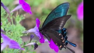 красивая музыка бабочки
