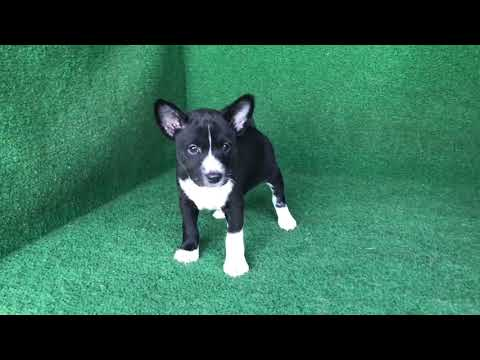 Karr - Black Male Basenji puppy