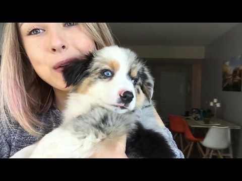 Getting my Aussie Mini puppy-Watch part 2!