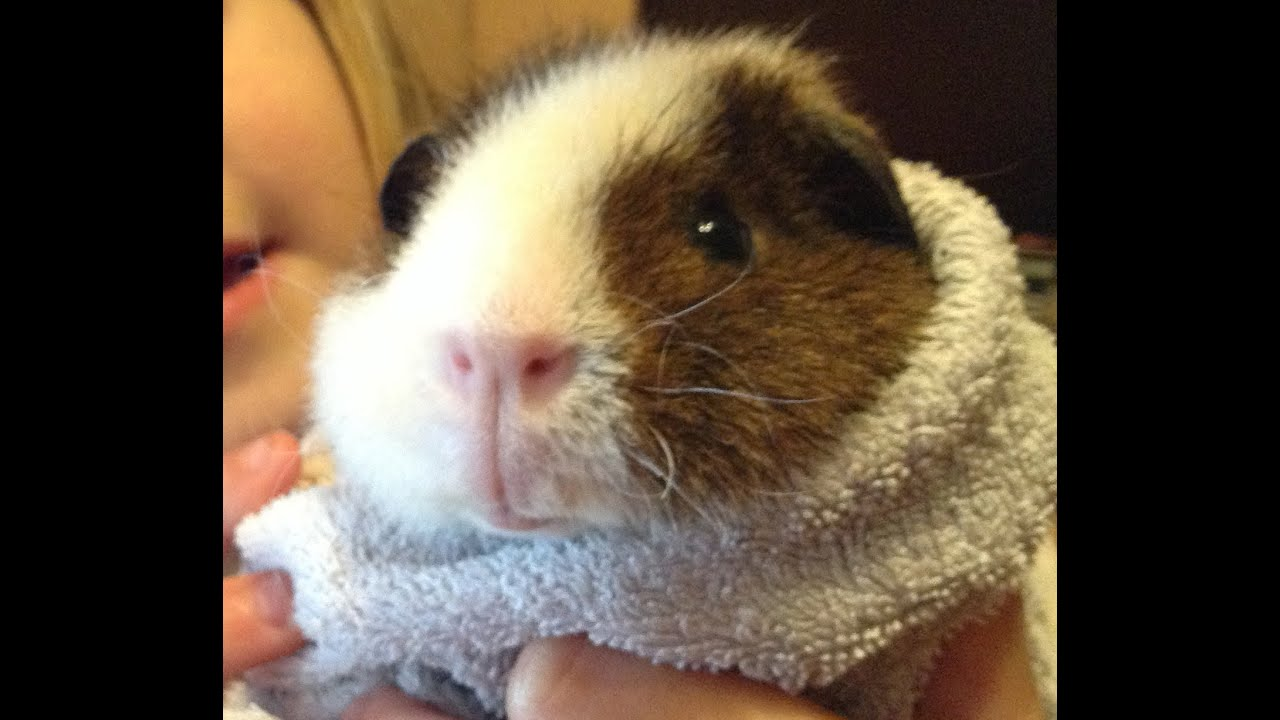 how to tell when guinea pig will give birth