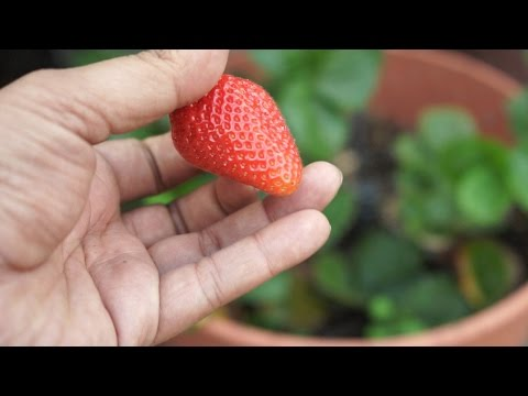 Growing Strawberries - Chandler Variety - Big & Delicious!