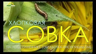 Хлопкова совка на подсолнечнике [agrotorg.in.ua](, 2017-08-25T14:02:49.000Z)