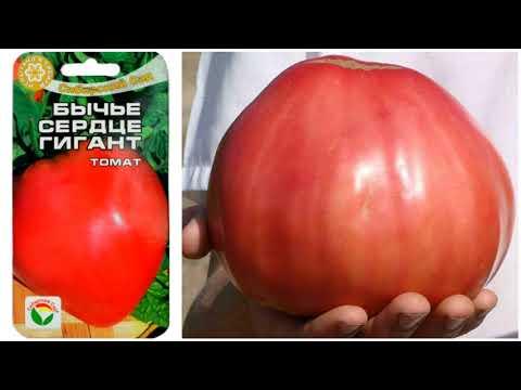 Мой любимый томат.  БЫЧЬЕ СЕРДЦЕ. | характеристика | урожайность | описание | томатов | томата | сортов | томат | сорта | т