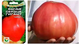 Мой любимый томат.  БЫЧЬЕ СЕРДЦЕ.
