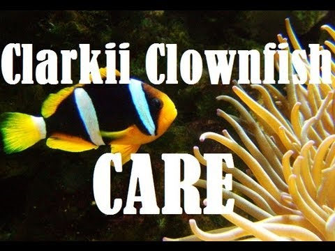 Clarkii Clownfish Care