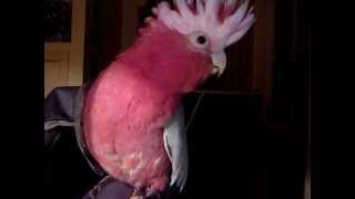 Charlie the galah talking, singing and meowing!