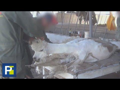 imágenes-sensibles:-alpacas-atadas,-gritando-y-cortadas,-la-denuncia-de-maltrato-animal-en-perú