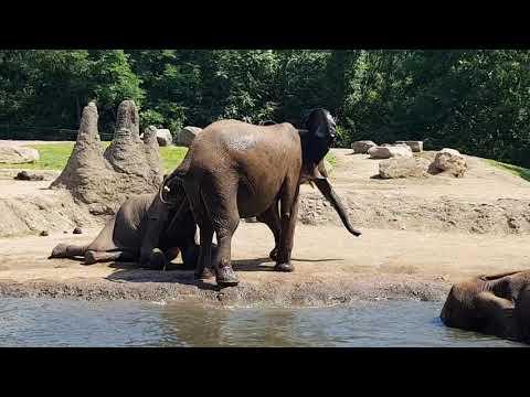 A bathing African elephants