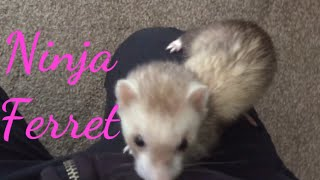 TRY Not to LAUGH funny animals ferret ninjas