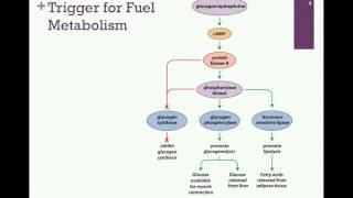 150-Effects of Glucagon & Epinephrine
