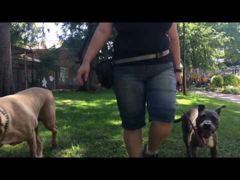 Tex and Lucy - Dog Aggressive Bullmastiffs