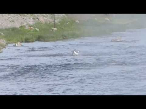 Yellowstone National Park - Osprey Fishing the Firehole River