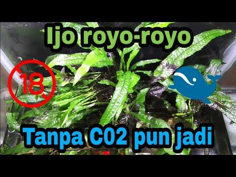 Java Fern , Tanaman Aquascape yang Mudah Perawatannya ...