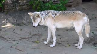 Мир животных. Волк