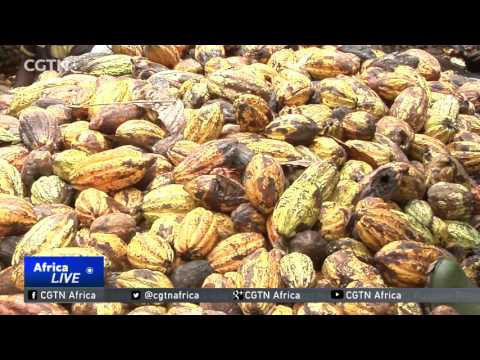 80% of Cote d'Ivoire's cocoa contracts cannot be fulfilled