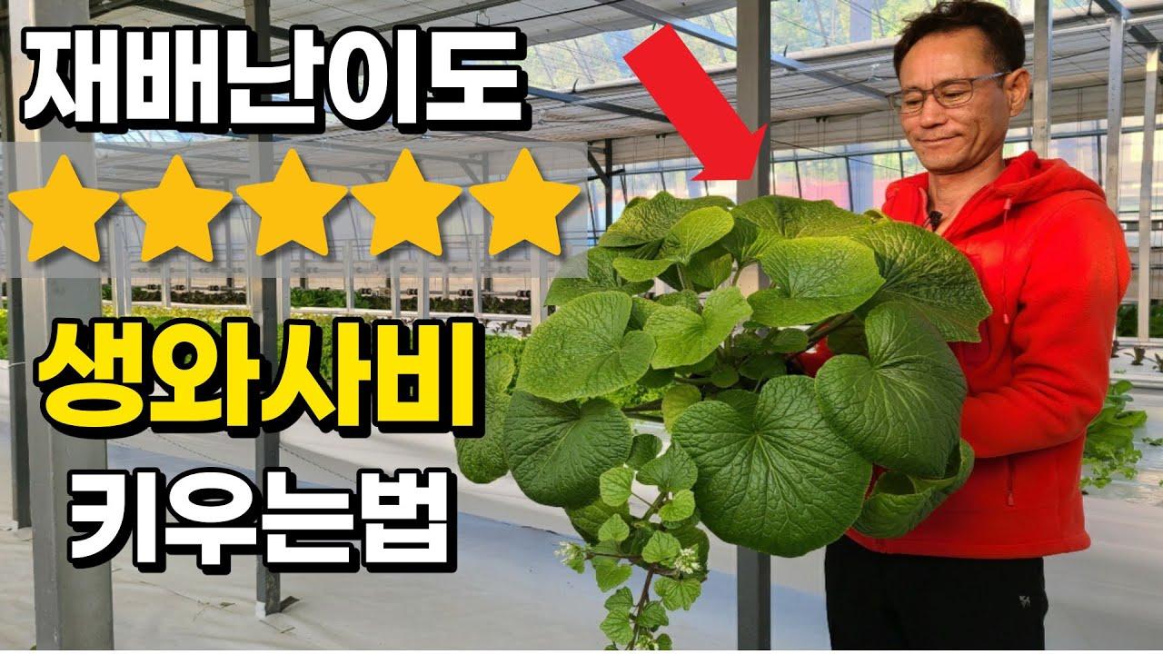 와사비 씨앗 1개 2000원?! 너무 비싸 한국에서 재배해버린 남자 A man who grows wasabi in Korea