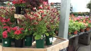 Babybells Nicotiana Red Flowers