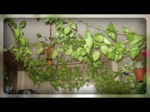 Украшаем комнату вьющимися растениями