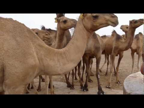 Camel's drinking water
