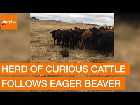 Herd of Curious Cattle Follows Eager Beaver