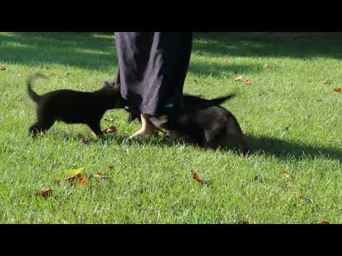 German Shepherd Puppies For Sale Isaac Beiler