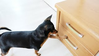 I SURPRISED MY DOGS WITH NEW TOYS ....... PART 1 [FUNNY VIDEO] [MINIATURE PINSCHER] [SMALL DOG]