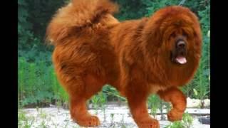 Тибетский мастиф самая красивая порода собак (как я щитаю)